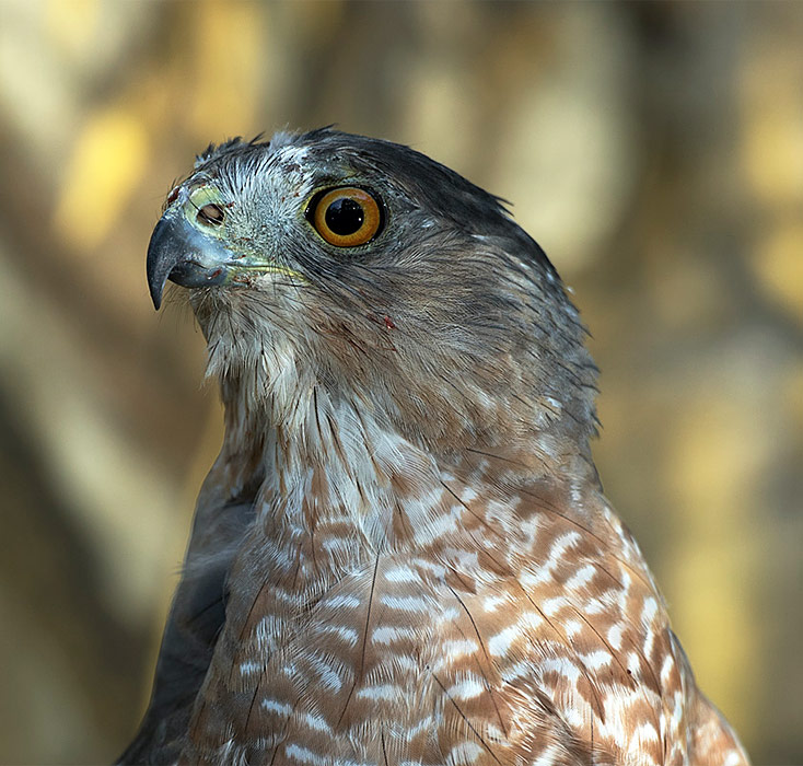 adopt-a-coopers-hawk