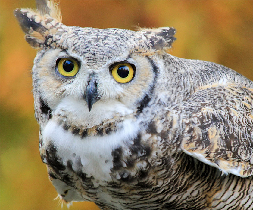 adopt-a-great-horned-owl