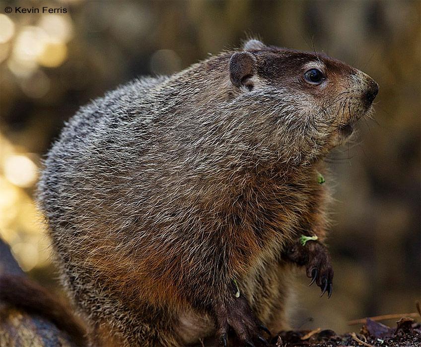 adopt-a-groundhog