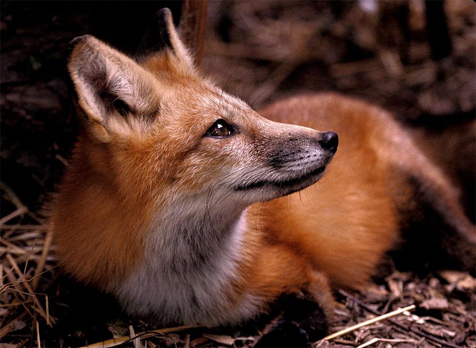 adopt-a-red-fox