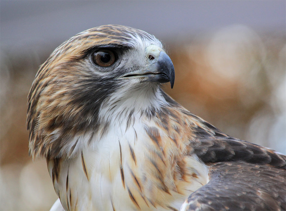 adopt-a-red-tail-hawk