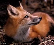 Fox_copyright (2)