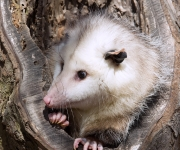 Opossum by Kevin Ferris