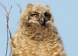 Creature Feature: Great Horned Owl