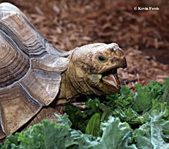 Tortoise, photo by Kevin Ferris