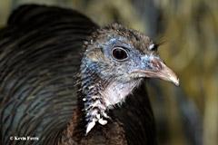 Wild Turkey, photo by Kevin Ferris